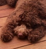 Dog Breeder in Knoxville Tennessee, Puppies for Sale in Knoxville, Knoxville Puppies for sale, for sale, Knoxville for sale, asmine -- 6 Months