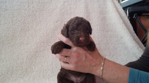 Dog Breeder in Knoxville Tennessee, Puppies for Sale in Knoxville, Knoxville Puppies for sale, for sale, Knoxville for sale, Jasmine -- 2.5 Weeks